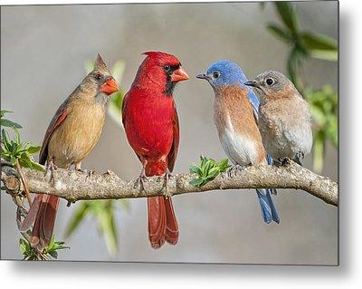 The Bluebirds Meet The Redbirds Metal Print