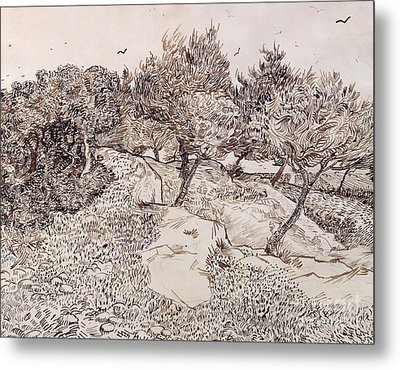 The Olive Trees Metal Print by Vincent Van Gogh