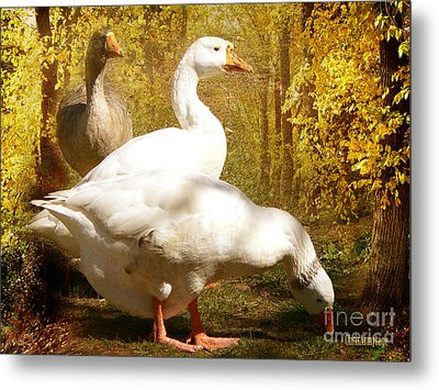 Metal Print featuring the photograph Three Geese A Grazing by Chris Armytage