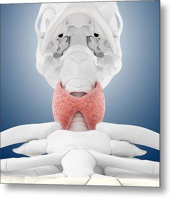 Thyroid Anatomy, Artwork Metal Print by Science Photo Library