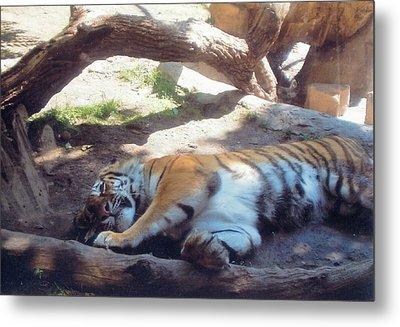 Tiger At Rest Metal Print by Barb Baker