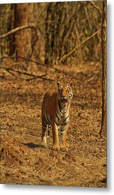 Tiger On The Move In Bamboo Forest Metal Print