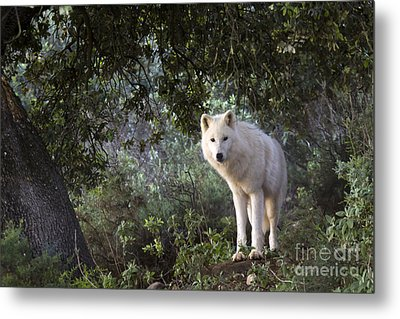 Timber Wolf Metal Print by Angel  Tarantella