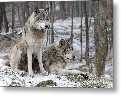 Timber Wolf Pair In Forest Metal Print by Wolves Only