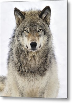Timber Wolf Portrait Metal Print by Tony Beck