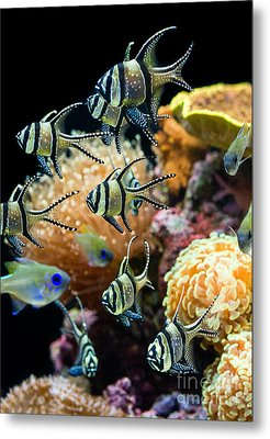 Tropical Wonderland - Banggai Cardinalfish Metal Print by Jamie Pham