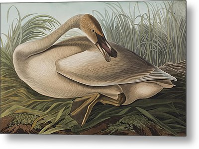 Trumpeter Swan Metal Print by John James Audubon