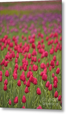 Tulip Beds Forever Metal Print