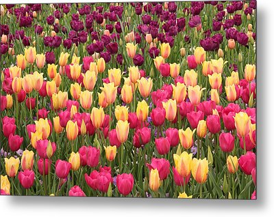 Metal Print featuring the photograph Tulips by Elizabeth Budd