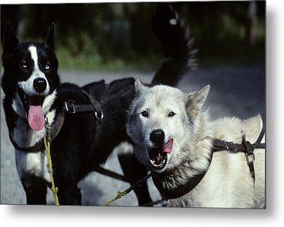 Usa, Alaska, Sled Dogs, Dog Sledding Metal Print