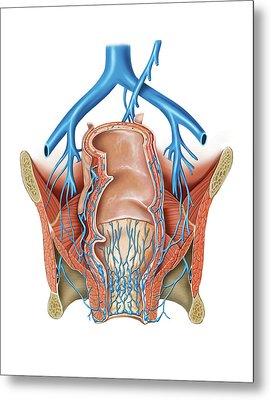 Venous System Of The Pelvis Metal Print by Asklepios Medical Atlas