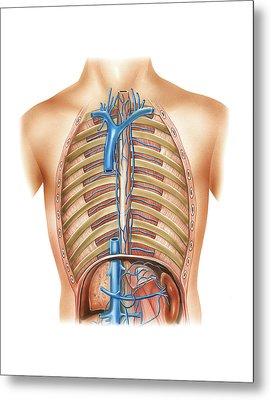 Venous System Of The Torso Metal Print by Asklepios Medical Atlas