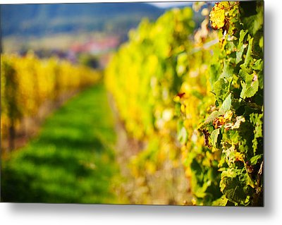 Vineyards In Autumn, Mittelbergheim Metal Print by Panoramic Images
