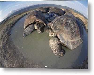 Volcan Alcedo Giant Tortoises Wallowing Metal Print by Tui De Roy
