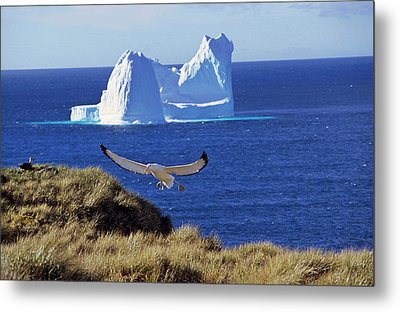 Wandering Albatross (diomendea Exulans Metal Print by Martin Zwick