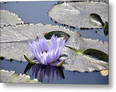 Water Lily Metal Print by Dottie Branchreeves
