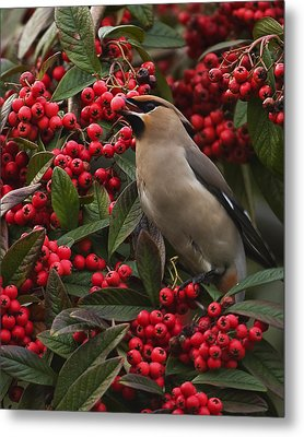 Waxwing Metal Print by Paul Scoullar