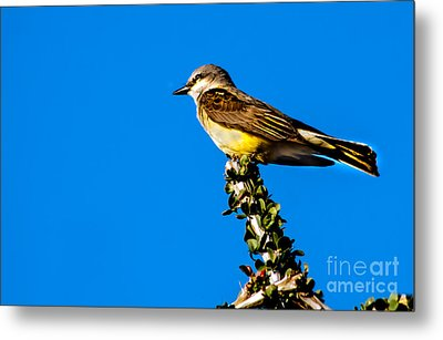 Western Kingbird Metal Print by Robert Bales