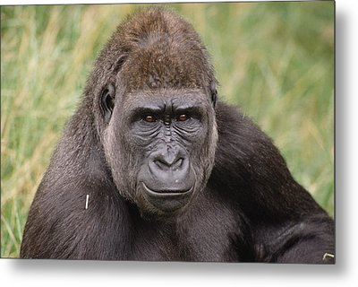 Western Lowland Gorilla Young Male Metal Print