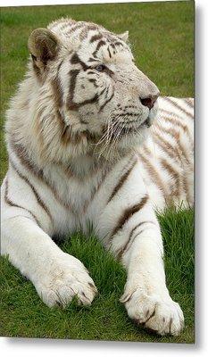 White Bengal Tiger Metal Print by Nigel Downer