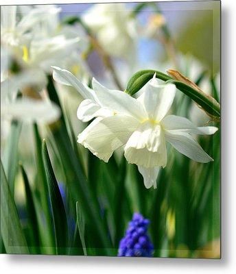 White Daffodil  Metal Print