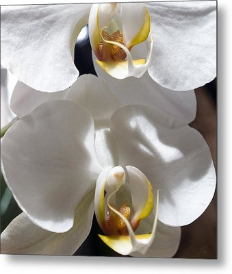 White Orchids Metal Print by Barbara Middleton