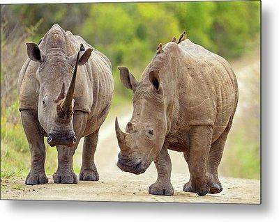 White Rhinos Metal Print by Bildagentur-online/mcphoto-schaef