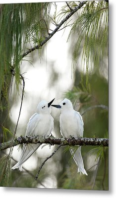 White Terns (gygis Alba Rothschildi Metal Print