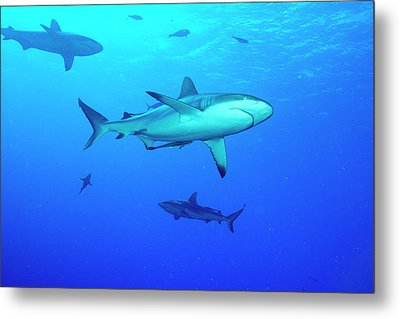 Whitetip Reef Sharks Over A Reef Metal Print by Louise Murray