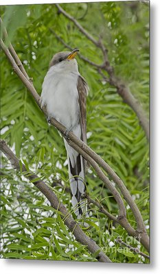 Yellow-billed Cuckoo Metal Print by Anthony Mercieca