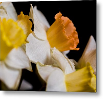 Yellow Daffodils Metal Print by John Holloway