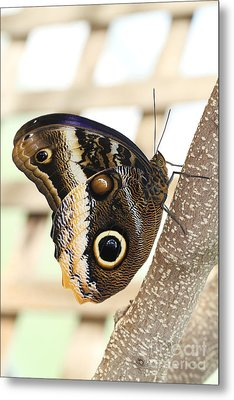 Yellow-edged Giant Owl Butterfly #4 Metal Print by Judy Whitton