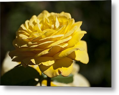 Yellow Rose Metal Print by Steve Purnell