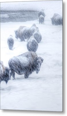 Yellowstone Bison Metal Print by David Yack