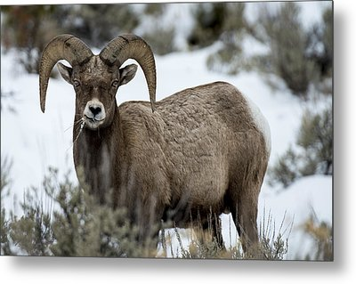 Yellowstone Ram Metal Print