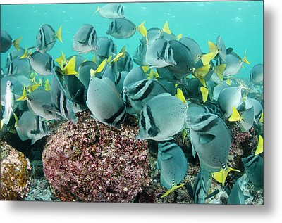 Yellowtailed Surgeonfish (prionurus Metal Print by Pete Oxford