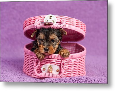 Yorkshire Terrier Puppy Metal Print by Marta Holka