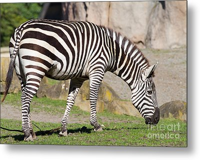 Zebra 7d8956 Metal Print by Wingsdomain Art and Photography