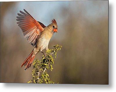 Northern Cardinal (cardinalis Cardinalis Metal Print