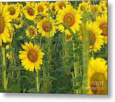 Sunflower Series Metal Print by Amanda Barcon
