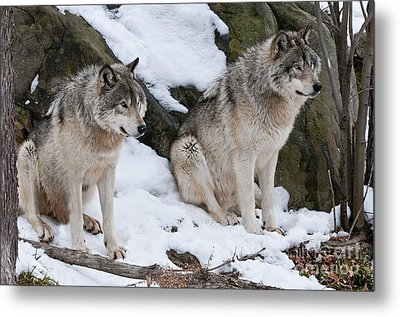 Timber Wolves Metal Print by Wolves Only