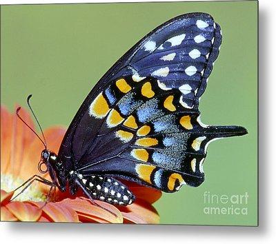 Eastern Black Swallowtail Butterfly Metal Print by Millard H. Sharp