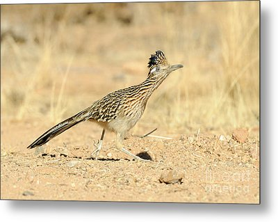 Greater Roadrunner Metal Print by Scott Linstead