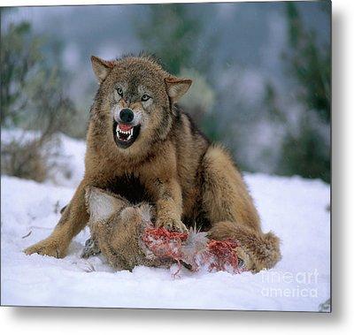 Timber Wolf Metal Print by Hans Reinhard