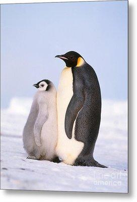 Emperor Penguin Aptenodytes Forsteri Metal Print by Hans Reinhard