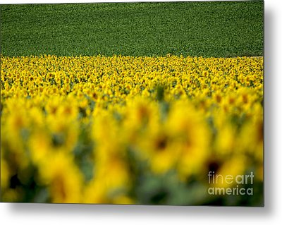 Sunflowers Metal Print by Bernard Jaubert