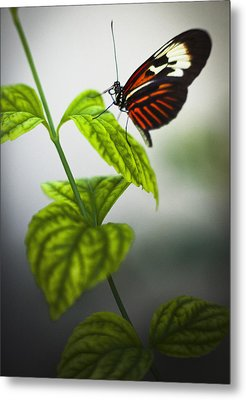 Butterfly Metal Print by Bradley R Youngberg