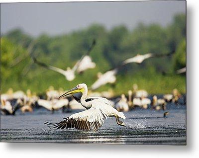Great White Pelican (pelecanus Metal Print