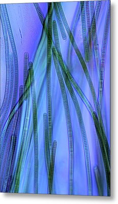 Oscillatoria Cyanobacteria Metal Print by Marek Mis
