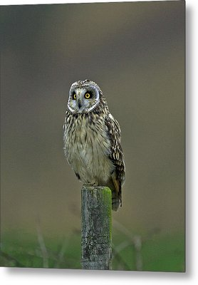 Short Eared Owl Metal Print by Paul Scoullar
